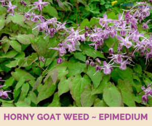 Horny goat weed DyqanTaxi