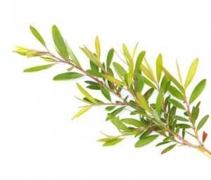Vaj-Esencial-Thee-Gold-Tea-Tree-Argital-Oil.jpg
